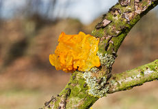 Golden jelly fungus Stock Photo