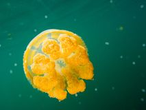 A golden jellyfish. Lonely beauty in warm green water Royalty Free Stock Images