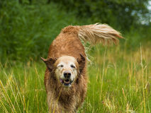 Golden Jumping. Golden Retriever running in tall grassy field. The happy dog runs and plays in the grassy meadow on a beautiful sunny day Stock Images