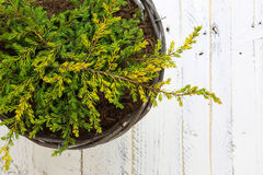 Golden Juniper Ground Cover Plant in Wicker Basket White Backgro Stock Photo