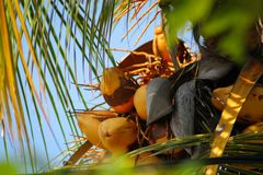 King coconut tree filled with coconuts. Golden king coconut filled tree Royalty Free Stock Photography