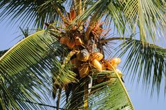 King coconut tree filled with coconuts. Golden king coconut filled tree Royalty Free Stock Photo