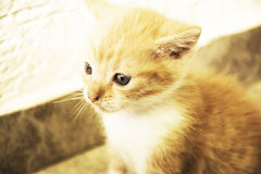 Golden kitten Stock Photos