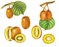 Golden kiwi. Realistic botanical illustration of golden kiwi plant Actinidia chinensis with a branch with leaves and fruits,whole fruit and cut in half Vector Illustration
