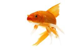 Golden Koi Fish. Isolated on white background Stock Photo