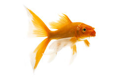 Golden Koi Fish. Isolated on white background Stock Images