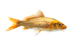 Golden Koi Fish Stock Image