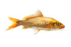 Golden Koi Fish. Isolated on white background Stock Image