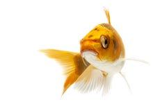 Golden Koi Fish. Isolated on white background Royalty Free Stock Photos