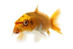 Golden Koi Fish. Isolated on white background Stock Photos