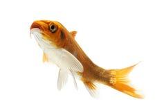 Golden Koi Fish. Isolated on white background Royalty Free Stock Images