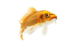 Golden Koi Fish. Isolated on white background Royalty Free Stock Image