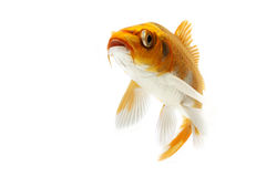 Golden Koi Fish. Isolated on white background Royalty Free Stock Photo