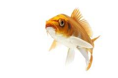 Golden Koi Fish. Isolated on white background Royalty Free Stock Photography