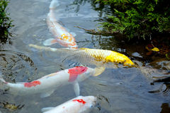 Golden koi fish - brocaded carp Royalty Free Stock Images