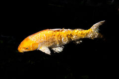 Golden koi fish isolated on black. Golden koi fish in pond isolated on black background royalty free stock photo