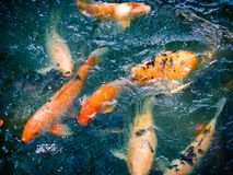 Golden Koi Fish in Pond Japanese Gardens Fort Worth Texas. Golden Koi fish swim and beg for food in a deep pond at the Japanese Gardens in Fort Worth Texas royalty free stock photos
