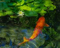 Golden koi, lotus blossom, reflections. A beautiful, healthy golden koi just below the surface of the water in a pond, with a single white lotus blossom at the stock images
