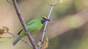 Golden-konfrontiertes Leafbird auf Baum lizenzfreie stockbilder