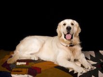 Golden lab Stock Photography