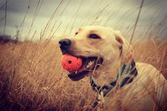 Golden Lab in a grassy field Royalty Free Stock Photography