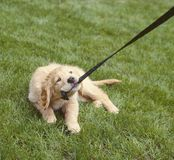 Puppy dog chewing pulling leash. Bad pet behavior animal obedience training.