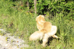 Golden Lab Urinating Royalty Free Stock Photography