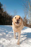 Golden Lab Walks On The Snowcovered Path Royalty Free Stock Photography