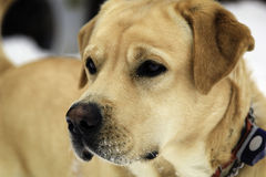 Golden Lab on a Winter Day Royalty Free Stock Photos