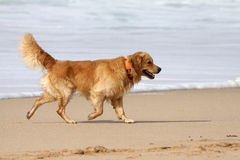 Golden Labrador . Brown and cream labrador playing on the beach Stock Image