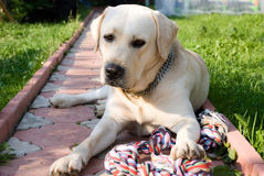 Golden labrador Stock Image