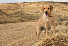 Golden Labrador Stock Photo