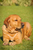 Golden labrador Royalty Free Stock Images