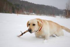 Golden labrador. Labrador in the deep snow Stock Images