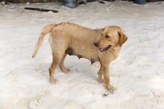 Golden Labrador on beach Royalty Free Stock Photography