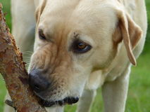 Golden labrador biting the stick royalty free stock photography
