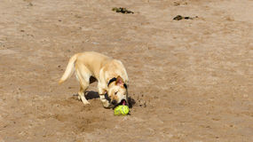 Golden labrador. Catching ball on the beach, Aberdeen UK Royalty Free Stock Image