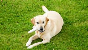 Golden labrador chewing bone royalty free stock photos
