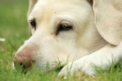 Golden labrador detail Stock Image