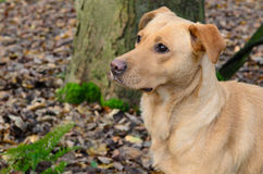 Golden Labrador dog Stock Images