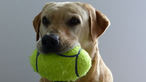 Golden Labrador ball. Golden Labrador with football ball Stock Images