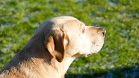 Golden Labrador Stock Photography