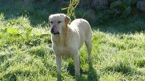 Golden Labrador Stock Image