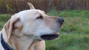Golden labrador portrait Royalty Free Stock Images