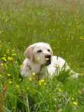 A Golden Labrador lying down in a meadow Stock Photos