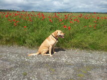 Golden Labrador Next To A Poppy Field Royalty Free Stock Images