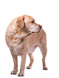 Golden labrador overweight Royalty Free Stock Image
