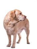 Golden labrador overweight. Heavy golden labrador dog on white background royalty free stock image