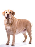 Golden labrador overweight. Heavy golden labrador dog on white background royalty free stock photography