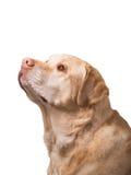 Golden labrador overweight. Heavy golden labrador dog on white background stock photo